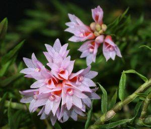 Dendrobium alaticaulinum (detail)