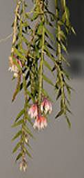 Dendrobium alaticaulinum