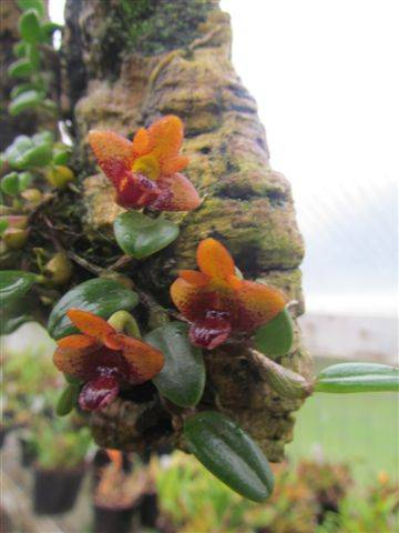 Dendrobium bulbophylloides