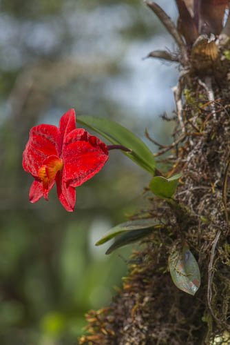 Sophronitis coccinea in bloom