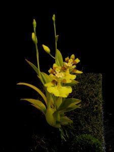 Oncidium cogniauxianum